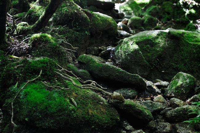 白谷雲水峡トレッキング 苔むす森の風景.JPG