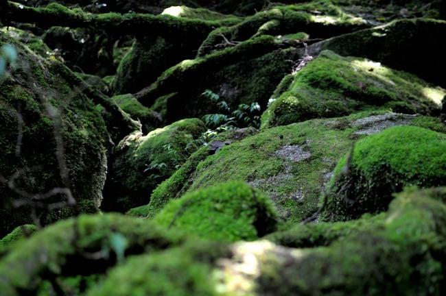 白谷雲水峡トレッキング 苔むす森風景写真.JPG