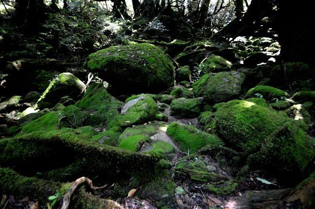 白谷雲水峡トレッキング 苔むす森風景画像.JPG